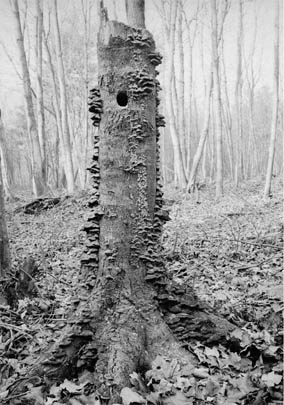 Old stump and woodpecker's hole, Corner Spring Woods