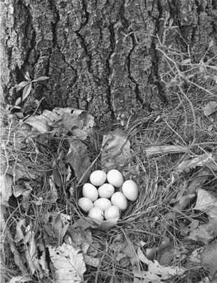 Partridge nest at foot of pine near Brister's Spring