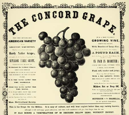 Broadside, Concord Grape.